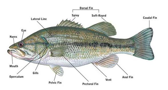 fish_anatomy